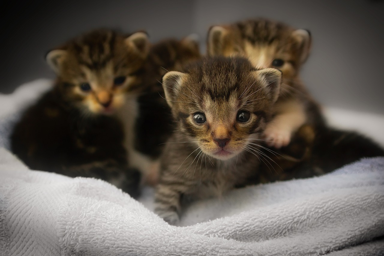 Kittens, pixabay: tpsbay, CC0 Public Domain